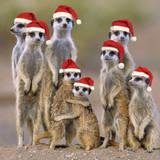 Meerkat Family Fotografisk tryk