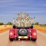 Meerkats in Car Waving Fotografisk tryk