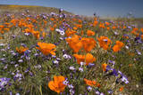 Californian Poppy and Violet Davy Gilia Photographic Print