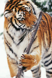 Siberian Amur Tiger Gnawing Branch Photographic Print