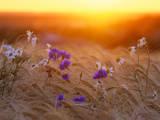 Field Flowers in Corn Field Barley Field Fotografisk tryk