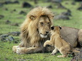Lion Single Male Playing with Cub Fotografisk tryk
