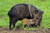 Javelina Mother with Young Fotografisk tryk