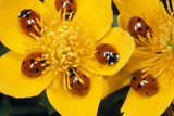 7-Spot Ladybirds on Marsh Marigold Photographic Print