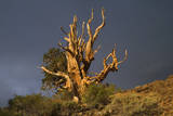 Bristlecone Pine Solitary Standing Photographic Print