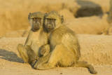 Chacma Baboon 2 Subadults in the Light Photographic Print