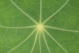 Nasturtium Leaf in Close-Up Photographic Print