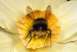 Bumblebee Gathering Pollen in Daffodil Flower Photographic Print