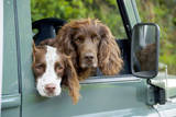 Springer Spaniel Dog and Field Spaniel Photographic Print