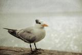Rustic Coastal Bird Photographic Print by Elizabeth Urqhurt