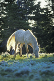 "Mustang Wild Horse White Stallion (Named ""Cloud"") Photographic Print"