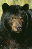 North American Black Bear Adult Male, Close-Up Reproduction photographique