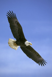 Bald Eagle in Flight Photographie