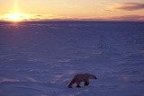 Polar Bear at Sunset Photographic Print