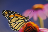 Milkweed Butterfly on Purple Photographic Print