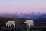 Rocky Mountain Goat Grazing in Alpine Meadow Photographic Print