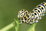 Swallowtail Butterfly Larva Feeding on Carrot Leaves Photographic Print