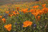 California Poppies and Yellow Goldfields Photographic Print