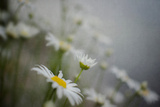 White Dasies in the Spring Photographic Print by Elizabeth Urqhurt