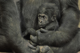 Young Lowland Gorilla Photographic Print