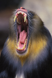 Mandrill Baboon Male Yawning Photographic Print