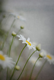 White and Yellow Flowers Photographic Print by Elizabeth Urqhurt