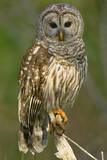 Barred Owl on Perch, Atchafalya River Basin Fotoprint