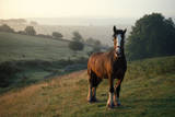 Shire Horse Retired Photographic Print