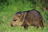 Young Collared Peccary Fotografisk tryk