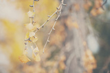 Gold Ginkgo Tree Leaves Fotodruck von Laura Evans