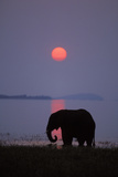 African Elephant Feeding Along Shore of Lake Photographic Print