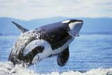 Orca Whale Breaching Reprodukcja zdjęcia