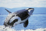 Orca Whale Breaching Photographic Print