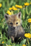 Red Fox Pup in Yellow Dandelions Fotografisk tryk