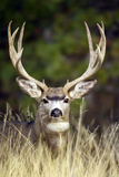 Mule Deer Buck Photographic Print