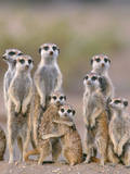 Meerkat Family with Young on the Lookout Photographic Print