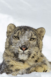 Snow Leopard Face and Front Paw, Sitting in Snow Photographic Print