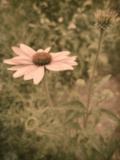 Pink Daisy Photographic Print by Tim Kahane