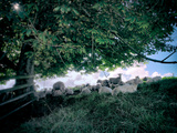 Flock of Sheep in Shade under Tree Photographic Print by Tim Kahane