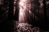 Light in the Darkness, California Redwood Coast Photographic Print by Vincent James