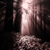 Light in the Darkness (Square), Redwood Coast Photographic Print by Vincent James
