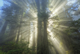 God Beams and The Redwoods, California Coast Photographic Print by Vincent James
