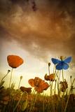 Marco Carmassi - Poppies Dream Fotografická reprodukce