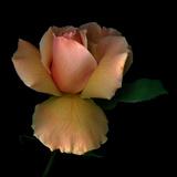 Rose 2 Photographic Print by Magda Indigo