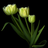 Yellow Tulips Photographic Print by Magda Indigo