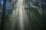 Light and The Dark Redwood Forest, California Coast Photographic Print by Vincent James