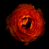 Ranunculus Orange 2 Photographic Print by Magda Indigo