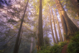 Misty Walk Into Del Norte Coast Redwoods Lámina fotográfica por Vincent James