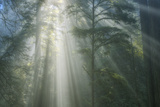 Light and The Misty Woods, California Redwoods Photographic Print by Vincent James