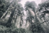 Within the California Redwood Forest Photographic Print by Vincent James